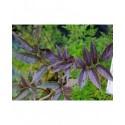 Sambucus nigra 'Guincho Purple' - Sureau Noir
