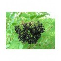 Sambucus nigra 'Haschberg' - sureau à fruits