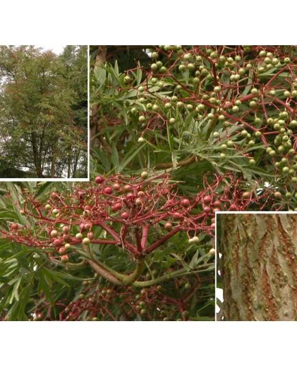 Sambucus nigra 'Laciniata' - sureaux noirs, sureau lacinié