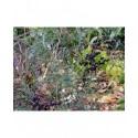 Sambucus nigra 'Linearis' - sureau