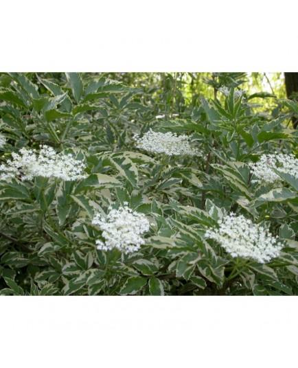 Sambucus nigra 'Marginata' - Sureau Noir panaché