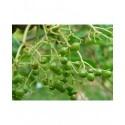 Sambucus nigra 'Viridis' - sureau à fruits verts