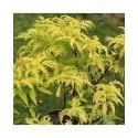 Sambucus racemosa 'Sutherland Gold' - sureau à grappes,