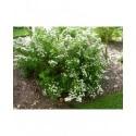 Spiraea betulifolia 'Thor' - spirée à feuille de bouleau. Brochet Lanvin.