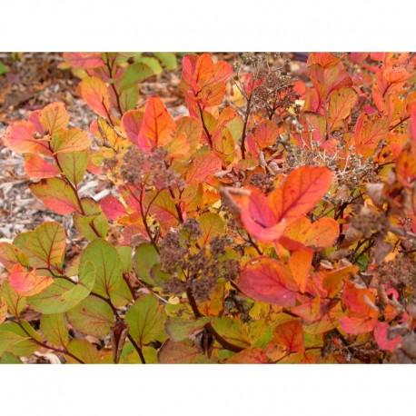 Spiraea betulifolia - Spirée à feuille de bouleau