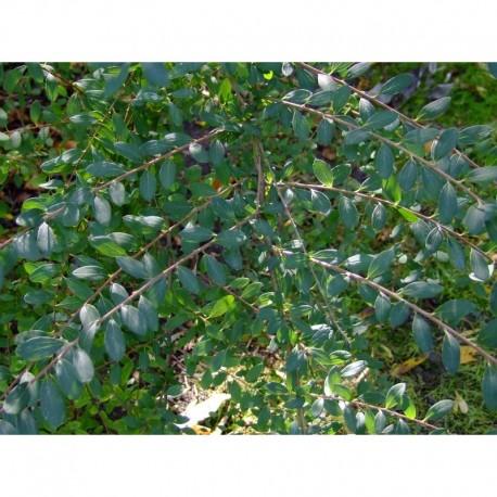 Spiraea canescens 'Myrtifolia' - Spirée à feuille de myrte