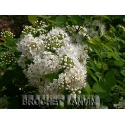 Spiraea chamaedryfolia -Spirées à feuille de petit chêne ,