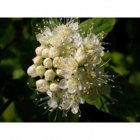 Spiraea chamaedryfolia var. pilosa - Spirées à feuille de petit chêne
