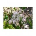 Spiraea densiflora -Spiraea splendens - rose des prés