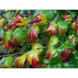 Spiraea flexuosa 'Splendide Automne' - Spirées