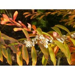 Spiraea gemmata - Spirée