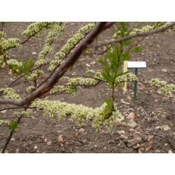 Spiraea hypericifolia - Spirée à feuille de millepertuis