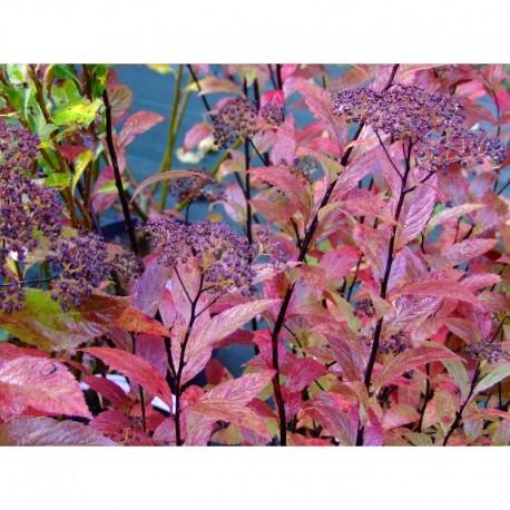 Spiraea japonica 'Country Red' - Spirée du Japon