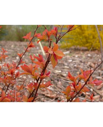 Spiraea japonica 'Fire Light' - Spirée du Japon