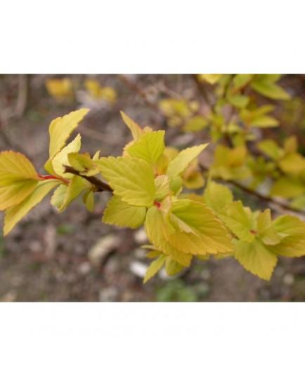 Spiraea japonica 'Glenroy Gold' - Spirée du Japon