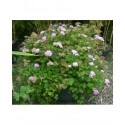 Spiraea japonica 'Little Princess' - Spirées naines
