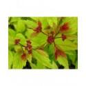 Spiraea japonica 'Magic Carpet' - Spirée du japon à feuilles rouges