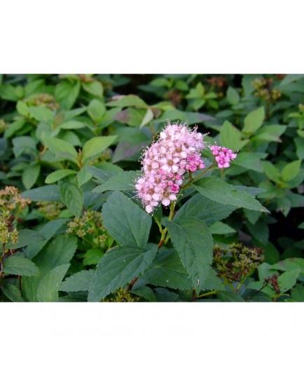 Spiraea japonica 'Manon' -Spirées du japon