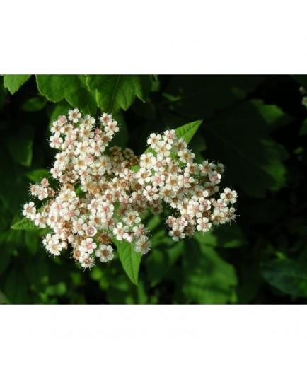 Spiraea japonica var himalayensis - Spirée de l'Himalaya