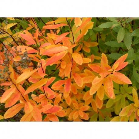 Spiraea latifolia - Spirée à large feuille