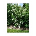 Spiraea mongolica - spirées