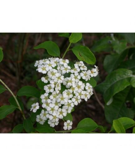 Spiraea nipponica 'Halward's Silver' -spirée nippone