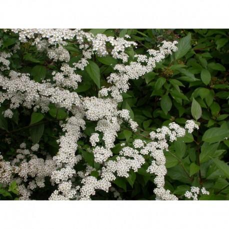 Spiraea nipponica 'June Bride' - spirée nippone