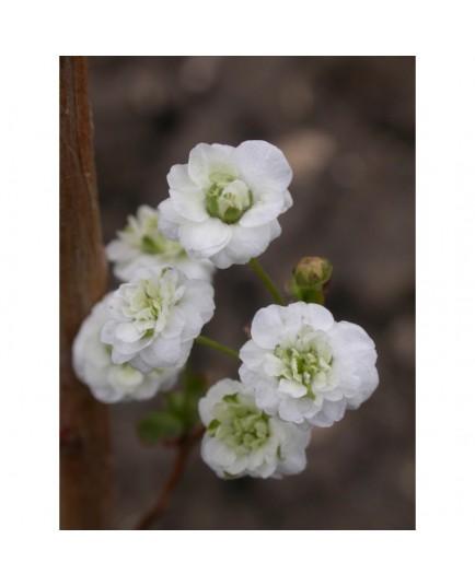 Spiraea prunifolia 'Plena' - Spirée à feuille de prunier