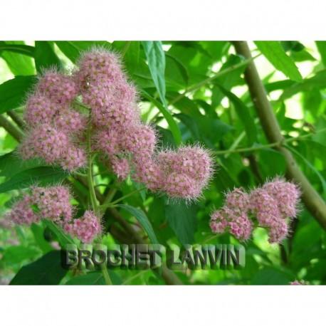 Spiraea sanssouciana x - Rosaceae - Spirée de Sanssouci