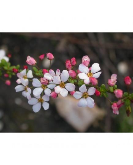 Spiraea thunbergii 'Fujino Pink' - Spirée
