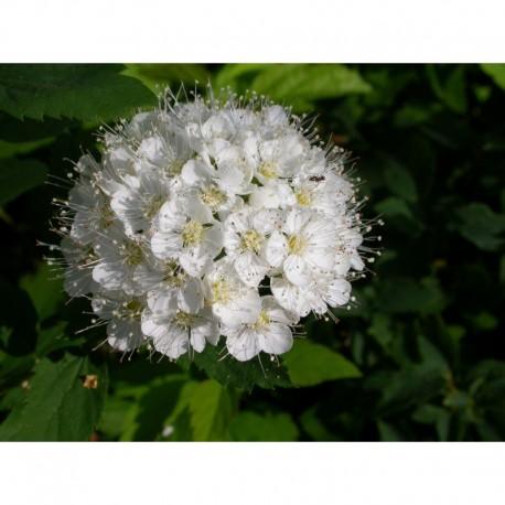 "Spiraea ussuriensis - Spirée de l""Ussur"
