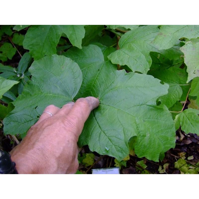 viburnum acerifolium viorne feuille d 39 rable. Black Bedroom Furniture Sets. Home Design Ideas