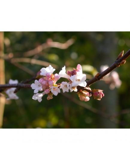 Viburnum bodnantense x 'Dawn' - Viorne de Bodnant