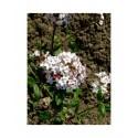 Viburnum burkwoodii x 'Mohawk' - viorne de burkwood