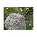 Viburnum carlcephalum x - Viorne