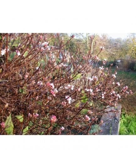 Viburnum farreri 'Nanum' - Viorne parfumée naine
