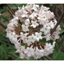 Viburnum juddii x - Viorne