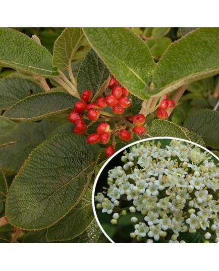 Viburnum lantana - viornes manciennes, viornes cotonneuses,