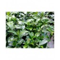 Viburnum odoratissimum var awabuki - viorne