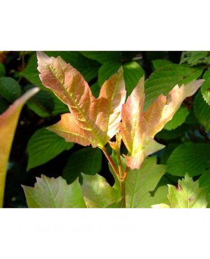 Viburnum opulus 'Compactum' - Viorne Obier