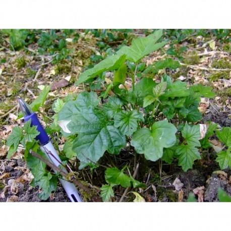Viburnum opulus 'Nanum' - Viorne obier