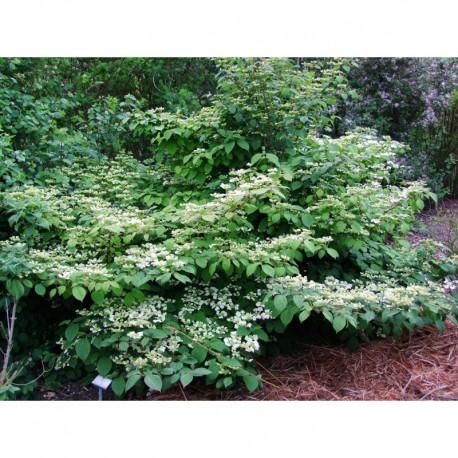 Viburnum plicatum 'Cascade' - Viorne du japon, viorne à plateaux