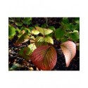 Viburnum plicatum 'Grandiflorum' -Viorne du japon, viorne à plateaux