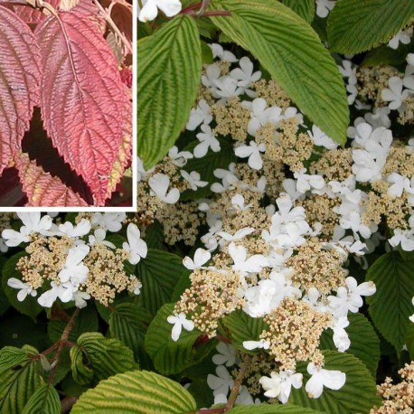 Viburnum plicatum 'Lanarth' -Viorne du japon, viorne à plateaux