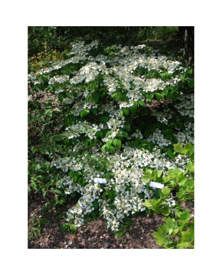 Viburnum plicatum 'Mariesi' - Viorne du japon, viorne à plateaux