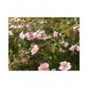 Viburnum plicatum 'Pink Beauty' - Viorne du japon, viorne à plateaux