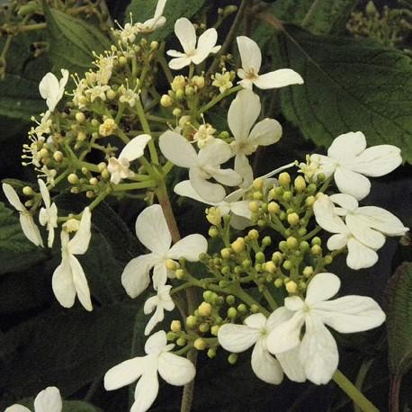 Viburnum plicatum 'Watanabe' - Viorne du japon, viorne à plateaux
