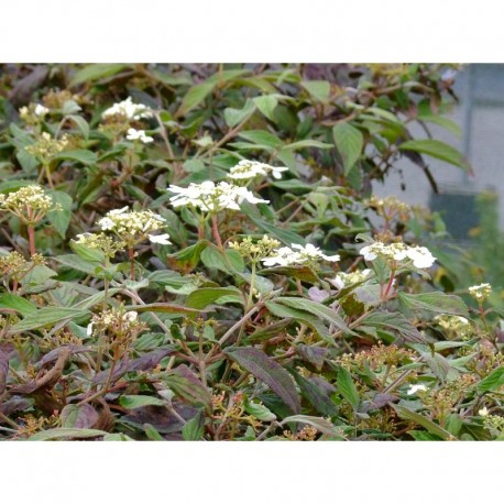 Viburnum plicatum f. tomentosum -Viorne du japon, viorne à plateaux