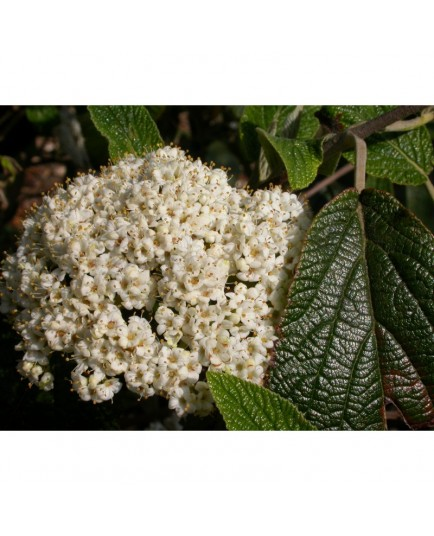 Viburnum rhytidophylloides x 'Willowwood' - Viorne