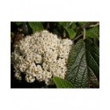 Viburnum rhytidophylloides x 'Willowwood' - Viorne